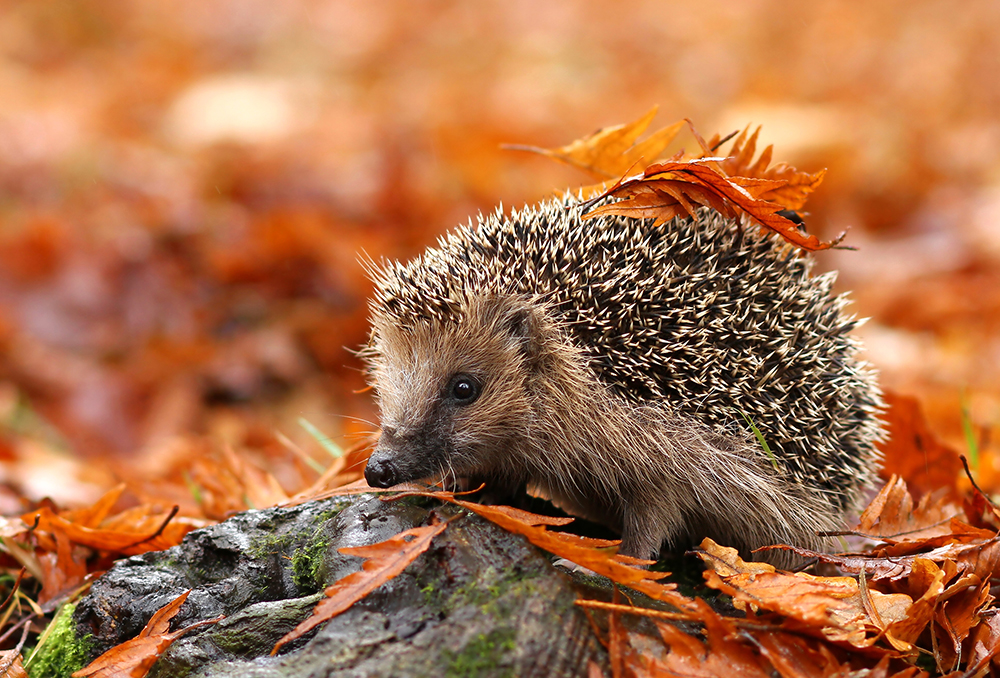 hedgehog hiding in autumn leaves